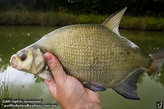 Bream - Abramis brama (puffinbytes) Tags: greatbritain england animals unitedkingdom carps bream essex animalia minnows cyprinidae cypriniformes chordates chordata actinopterygii rayfinnedfishes abramis abramisbrama taxonomy:kingdom=animalia taxonomy:phylum=chordata taxonomy:class=actinopterygii taxonomy:family=cyprinidae taxonomy:order=cypriniformes leuciscinae spb:lid=00an spb:country=uk spb:id=01f5 spb:species=abramisbrama spb:pty=f taxonomy:subfamily=leuciscinae taxonomy:genus=abramis taxonomy:species=brama taxonomy:binomial=abramisbrama taxonomy:common=bream spb:pid=0p3a