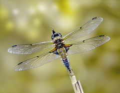 4 Spotted Chaser (@JPD_Photography) Tags: nature nikon dragonfly wildlife chester odonata d7000 sigma150500mmf563dgoshsm caldyvalley