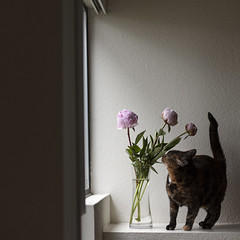 Someone is unsure about peonies (Pink Scarf) Tags: flowers home window cat scared domesticlife unsure