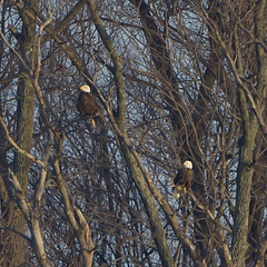 BALD EAGLE - MATED PAIR (nsxbirder) Tags: ohio baldeagle haliaeetusleucocephalus caesarcreekstatepark harveysburg