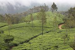 Beautiful tea plantation near Lipton's seat (Raphael Bick) Tags: travel asia sri lanka ceylon