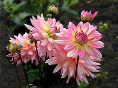 Dahlia Group (Raj(Ramad)) Tags: bestevergoldenartists flowerthequietbeauty besteverdigitalphotography