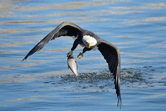 American Bald Eagle Fishing [2442] (cl.lin) Tags: fish bird birds river mississippi fishing nikon midwest eagle lock dam wildlife 14 birding flight bald sigma iowa american mississippiriver birdsinflight eagles americanbaldeagle birdinflight d600 leclaire lockanddam14 ld14