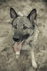 1/52 Moja (haroldmeerveld) Tags: dogs for weeks 52 moja