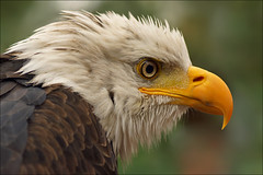 Young Bald Eagle (Foto Martien (thanks for over 2.000.000 views)) Tags: ocean show usa canada holland macro bird netherlands dutch closeup alaska river us unitedstates eagle baldeagle nederland demonstration raptor northamerica hunter noordoostpolder geotag flevoland birdofprey vogel seacoast demonstratie falconer a77 valkenier arend geotagging adelaar greifvogel amerikaansezeearend roofvogel aalten northernmexico luttelgeest roofvogelshow weiskopfseeadler orchideenhoeve vlindervallei valkenhof pygarguetteblanche witkopzeearend largelake symboloftheunitedstatesofamerica martienuiterweerd bestcapturesaoi martienarnhem nationalbirdoftheunitedstatesofamerica amerikasnationalevogel mygearandme mygearandmepremium minoltamacro100mm28mm mygearandmebronze mygearandmesilver mygearandmegold mygearandmeplatinum mygearandmediamond fotomartien flickrbronzetrophygroup photographyforrecreationeliteclub sonyslta77v sonyalpha77 geotaggedwithgps rememberthatmomentlevel1 rememberthatmomentlevel2 photograhyforrecreation