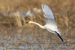 The Wild Life 7 (California Rice Commission) Tags: bird wildlife nelson crc tundraswan wintermigration