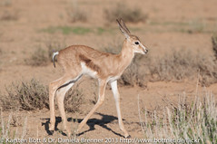 "Baby Springbok • <a style=""font-size:0.8em;"" href=""http://www.flickr.com/photos/56545707@N05/8365601504/"" target=""_blank"">View on Flickr</a>"