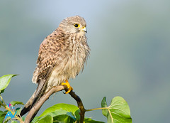 Falco tinnunculus - Common Kestrel (Aravind Venkatraman) Tags: india bird birds nikon photographer indian birding 300mm national raptor dslr common aravind chennai birdwatching f4 geographic birder birdsofprey kestrel tinnunculus nationalgeographic harrier falco falcotinnunculus commonkestrel birdphotography 14tc nikondslr birdsindia indiabirds incredibleindia birdphotographer dslrnikon nikon300mmf4 avphotography nikon14tc d7000 nikond7000 chennaibirding d7000nikon aravindvenkatraman