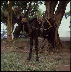 Hasselblad 500C  C  FujiProvia400  Mule (Gustaf_E) Tags: city horse color 6x6 analog mediumformat 120film nicaragua managua mule centralamerica mula hst fujiprovia400 sna hasselblad500c centralamerika hasselblad500