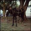 Hasselblad 500C – C – FujiProvia400 – Mule (Gustaf_E) Tags: city horse color 6x6 analog mediumformat 120film nicaragua managua mule centralamerica mula häst fujiprovia400 åsna hasselblad500c centralamerika hasselblad500