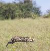 IMG_1208 (Ninara) Tags: cat kenya safari masaimara masaimaranationalreserve servalcat