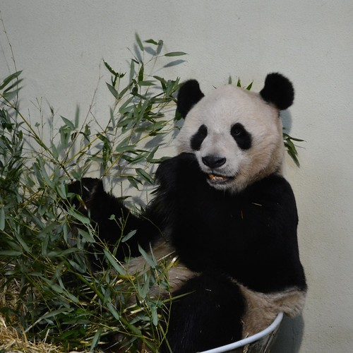 Yang Guang eating at edinburgh zoo