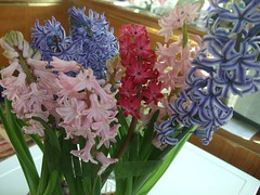 Hyacinths  15 (ratpackcris) Tags: pink blue glass vintage mix jan multicoloured indoor bowl pebbles delft bulbs pearl smbl bos hyacinth carnegie hydroponics resim hyacinthus iek hyacinths forcing orientalis zambile litwinowii transcaspicus