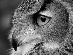 The Monday Face (NRG Photos) Tags: blackandwhite bird eye beak auge vogel uhu schnabel bubobubo eagleowl biebesheim schwarzweis mondayface montagsgesicht canonef70200mmf28lisusm frhlingsmarkt springmarket