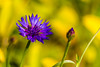 Purple Bloom, Corn Flower (Centaurea cyanus) (Kumaravel) Tags: travel flower closeup nikon dof purple bokeh ngc cornflower newdelhi centaureacyanus lodigarden kumaravel anawesomeshot d3100