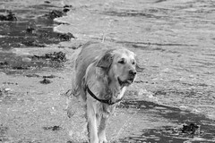 Running ((fiona) thank you for your visit) Tags: love dogs beautiful nikon friend faith goldie