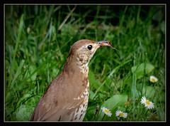 Singdrossel (karin_b1966) Tags: vogel bird tier animal garten garden natur nature 2016 singdrossel yourbestoftoday