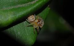 Opisthoncus sp. (dustaway) Tags: arthropoda arachnida araneae araneomorphae salticidae hyllinae opisthoncus jumpingspiders australianspiders australia mooball northcoast nsw spinne
