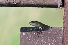 Cool Dude! (RiverCrouchWalker) Tags: lizard commonlizard viviparouslizard lacertazootocavivipara cooldude july 2016 summer rainhammarshes rspb shaded shadow purfleet essex