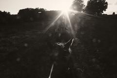 wir reiten nach Westen, zur Sonne, zum Licht (feldweg) Tags: horses sun riding sonne pferde horseback reiten intothesun gowest