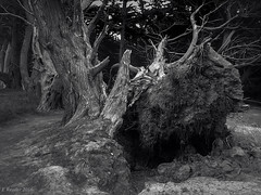 Uprooted (Greatest Paka Photography) Tags: tree uprooted hole felled massive halfmoonbay