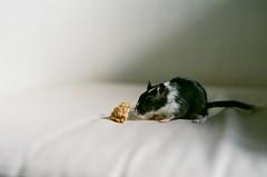 !!! (Mushi Kid) Tags: cici gerbil snack food film analog cute nikon fm3a superia fuji 400 50mm portrait pet