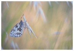 Petite douceur... -  little sweetness... (isabelle.bienfait) Tags: papillon butterfly proxymacro douceur sweetness pastel demideuil nikond5100 sigma105 ambiance ambience nature bokeh
