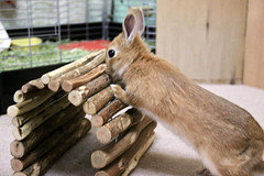 Ichigo san 314  (mensore) Tags: brown bunny cute ichigo netherlanddwarf pet rabbit