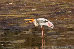 0235 Buntstorch - Painted Stork (uwizisk) Tags: buntstorch mycterialeucocephala india indien paintedstork ranthambhorenationalpark vgel birds