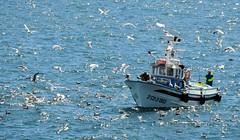 5222-Faenando en la bahia coruesa (jl.cernadas) Tags: marineros pesca barco gaviotas mar sea faenando embarcacion pesquero