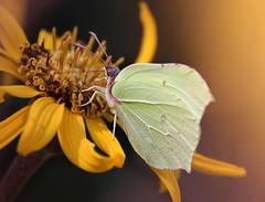 Brimstone, citroenvlinder_002 (cees van gastel) Tags: ceesvangastel natuur nature macro vlinders butterfly brimstone citroenvlinder bouvignebreda canoneos550d tamron70300mm tussenringen extensionrings