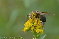 On Golden Rod... (dbifulco) Tags: kvsp kittatinnyvalleystatepark baldfacedhornet flowers insect macro nature newjersey nikkor105f28 yellow