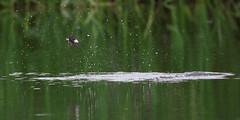 House Martin Skimming Lake 1 (Chris Bainbridge1) Tags: delichon urbica house martin skimming lake drinking hirundine