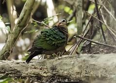 Emerald Dove/ Green winged pigeon (Tok Ki, an idiot with cameras.) Tags: birdperfect tokki pungut wild wildlife nature