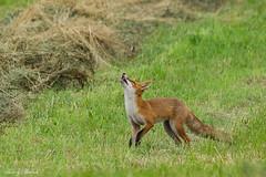 Renard roux (Thierry Badan) Tags: renard roux fox