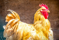 Bird, Rooster DSC_6479 Un coq, Centre de la Nature (Nicole Nicky) Tags: coq rooster bird oiseau centredelanature nature farmanimal ferme yellow red rouge jaune nikon