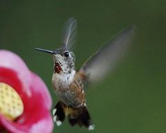 Rufous hummingbird (jlcummins - Washington State) Tags: hummingbird rufoushummingbird bird yakimacounty washingtonstate