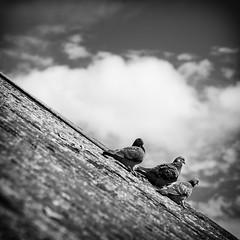 Downhill Pigeons (_mr_dave_) Tags: pigeon bird roof slope cloud sky blackwhite blackandwhite monochrome mono monotone black white grey gray square squareformat sonya7rii sonyalpha fe55mmf18 carlzeiss zeiss sonnart