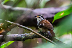 ... striped wren-babbler,   ... (liewwk - www.liewwkphoto.com) Tags: stripedwrenbabbler   striped wrenbabbler kenopiastriata pellorneidae bird malayisa forest jungle malaysiabird asia liewwk canon     malaysiabirdtour malaysiabirdphotographytour malaysiabirdwatchtour  endemicguides borneo