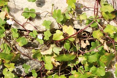 Ivy-leafed Toadflax (DaveB4) Tags: durlston wildlife flora fauna blue