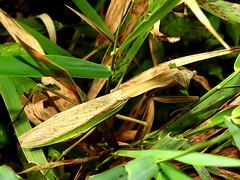 Chinese Mantis, Tenodera aridifolia (6) (Herman Giethoorn) Tags: mantis mantid