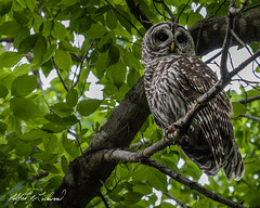 Barred Owl Perched (Alfred J. Lockwood Photography) Tags: alfredjlockwood nature wildlife bird owl barredowl portrait colleyvillenaturecenter spring texas morning raptor