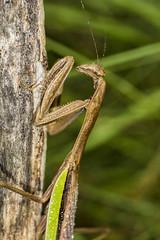 DSC06515 02 (advertisingwv) Tags: advertisingwv josh shackleford southern wv beckley west virginia sony alpha a77 macro insect bug praying mantis mantid super sueprmacro