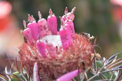 ER 160901 (8) (Paolo Bonassin) Tags: cactaceae cactacee cactus succulente melocactus