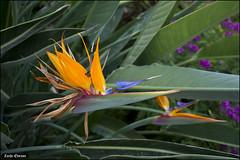 Paradise Bird Flower - MyGarden-IZE-016 (Zachi Evenor) Tags: zachievenor israel mygarden garden gardening         strelitziareginae strelitzia reginae   flower flowers ganedenbird paradisebird paradisebirdflower
