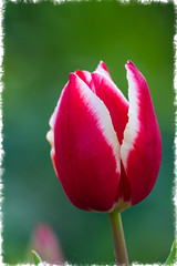 First Tulip (bevmci) Tags: flower tulip red