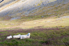 Born to Follow _4789 (hkoons) Tags: westfiords westfjords barastrnd country flkalundur iceland vatnsfjrur animals countryside farm farms fiord fjord fodder grains grass grazing green island lamb landscape mammal north outdoors pastoral pasture peninsula ranch sheep wool