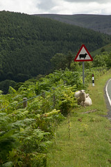 Clever Sheep (juliereynoldsphotography) Tags: juliereynoldsphotographycouk juliereynolds wales sheep