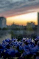 DSC_4600 (ladylzd) Tags: lzd kiev cornflowers sunset