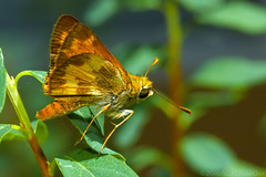 Happy Little Skip (raypainter) Tags: grassskipper scotttucker tinygame canon hbbbt afternoon animals arthropod bug bugs butterflies butterfly colorado ef100mm eos70d home insects lepidoptera macro micro microfauna nature outdoors raypainter skipper wildlife